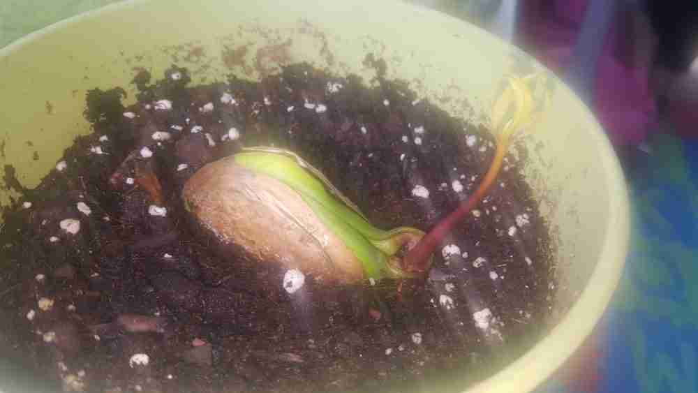 Attempting to grow mango trees from mango seeds that have been scavenged from grocery store mangoes. Picked up some mangoes at Sam's club and I will also note that Sam's Club has some pretty delicious mangoes and you don't even have to sell an organ to afford them, so that's definitely a plus.