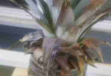 Inception: August 24, 2017-As I witnessed from watching a few YouTube videos, I cut off the crown of my fresh pineapple, filled a jar with water, placed the crown in