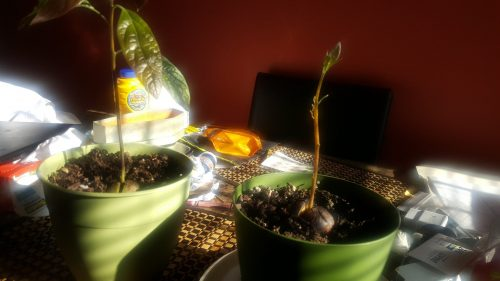 It has come to my attention that I haven't been keeping track of my avocado plants' growth!! Which makes me very sad because, despite my frustrations with the avocados, I have been seeing some progress from the pits I have been keeping. In this post, I'll just keep different notes of the tweaking I've done during my process of growing avocados and create a separate post that tracks the progress of an avocado pit from the beginning of its journey.