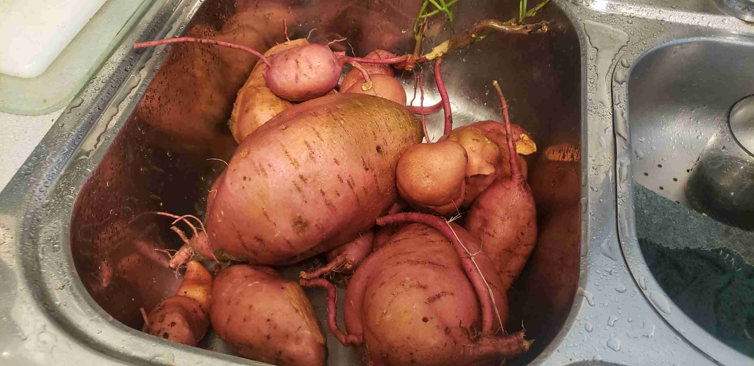 Huge Sweet Potatoes Harvested From Companion Planting with Tomatoes