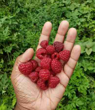 A Handful of Freshly Picked Organic Crimson King Red Raspberries in a Permaculture Food Forest