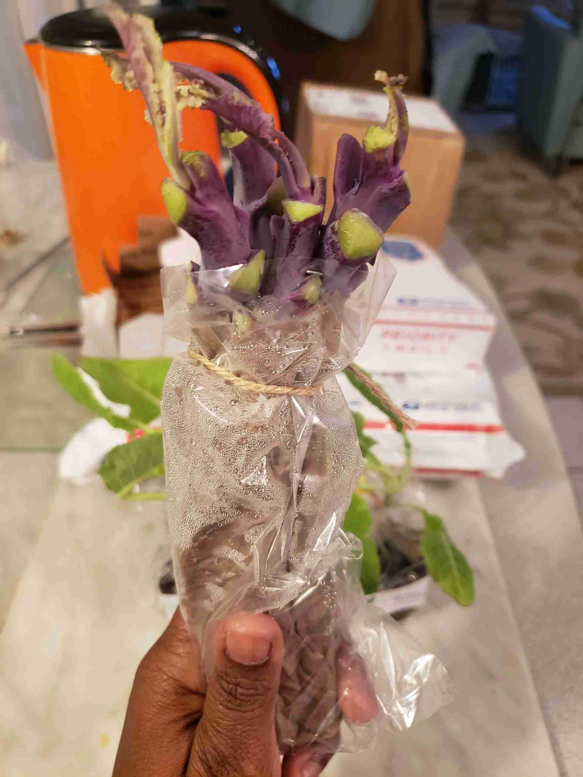 Purple Tree Collard Cuttings Wrapped in Plastic From Online Plant Seller