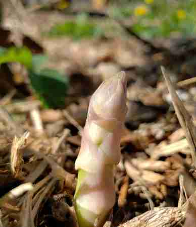 White Asparagus emerging from a deeply mulched ground
