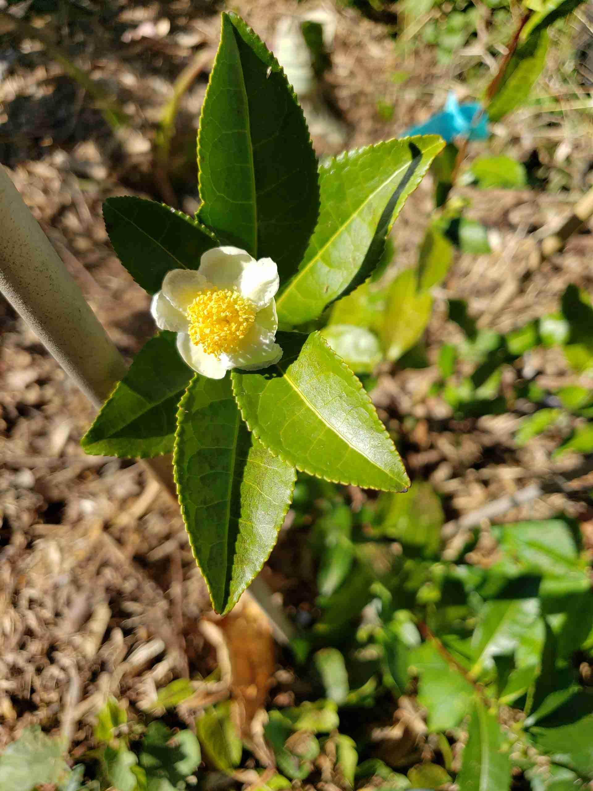 camellia sinensis tea bush flowering
