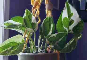 Pothos & Joy Pothos Vining Houseplant in Leca Hanging in Planter